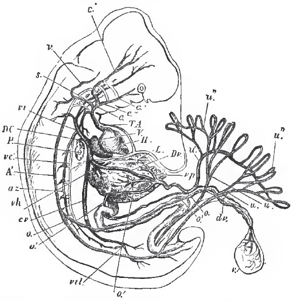 The Circulatory Organs The Muscles And The Viscera A