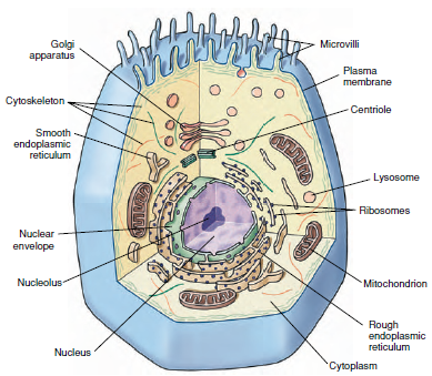 Marvelous Components Of Eukaryotic Cells And Their Functions Organization Of Wiring Digital Resources Indicompassionincorg
