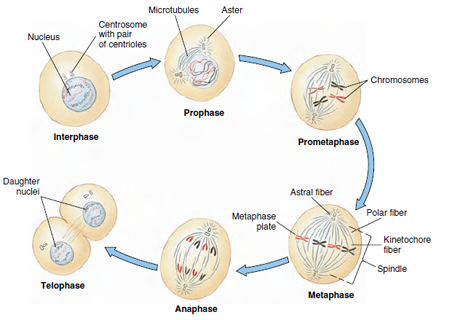 Phases in mitosis mitosis and cell division cells as units of stages of mitosis showing division of a cell with two pairs of chromosomes one ccuart Image collections