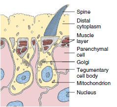 platyhelminthes tegument sincitial condyloma a péniszen