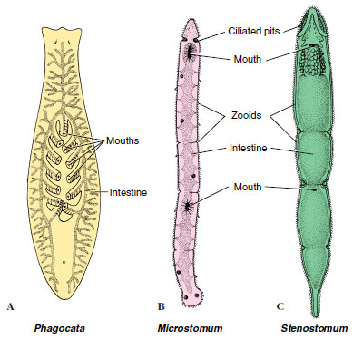 Phylum Platyhelminthes Acoelomate Animals The Diversity Of
