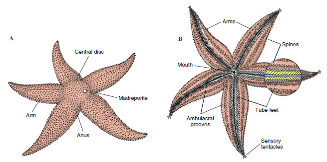 Class Asteroidea Echinoderms The Diversity Of Animal Life