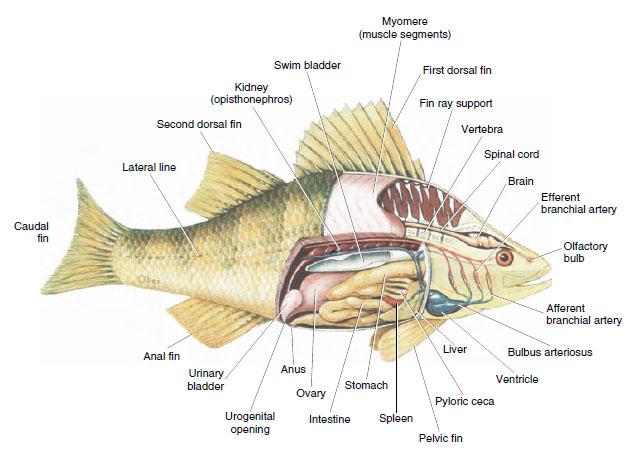 osteichthyes: bony fishes | fishes | the diversity of ... osteichthyes diagram  #10