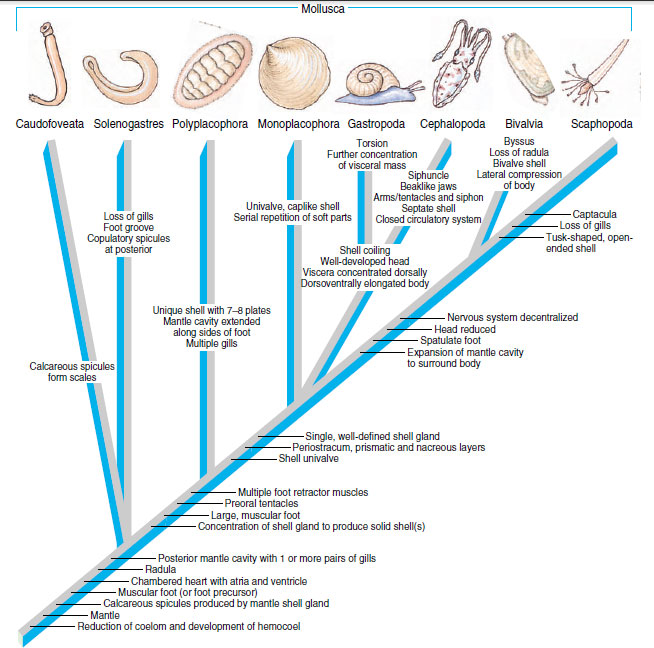 Phylogeny and adaptive radiation molluscs the diversity of cladogram showing hypothetical relationships among classes of mollusca synapomorphies that identify the various clades ccuart