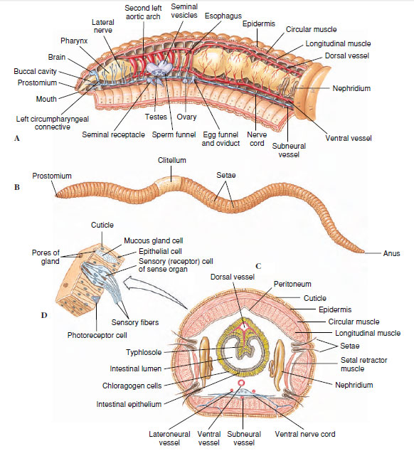 Somite Earthworm Diagram Trusted Wiring Diagram