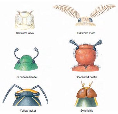 Class Insecta | Terrestrial Mandibulates | The Diversity of