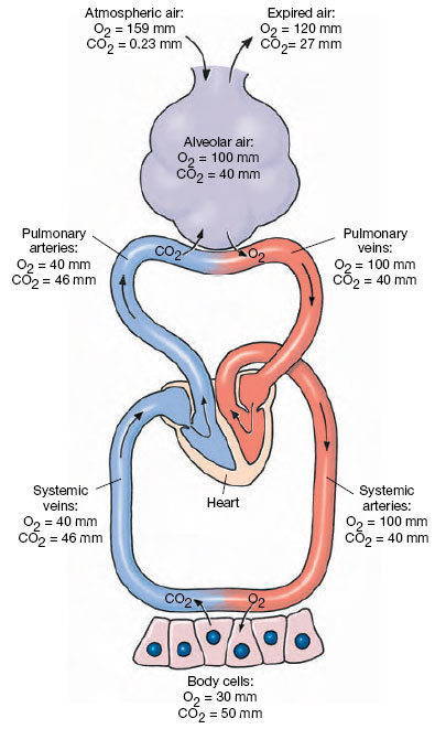 Structure And Function Of The Mammalian Respiratory System
