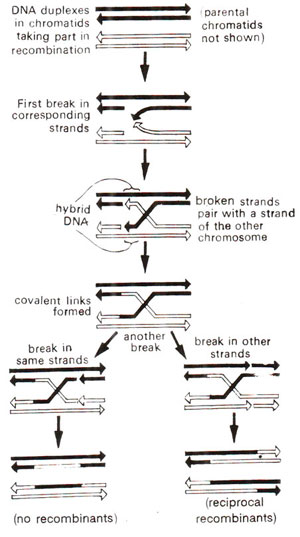 Mechanism of genetic recombination linkage and crossing over in mechanism of recombination as explained on the basis of hybrid dna model of r holliday ccuart Gallery