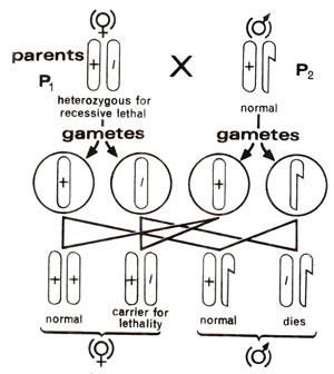 Sex influenced chatacteristics in drosophilia