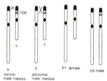reversed sex chromosomes image in Woking