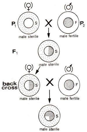 Male Sterility In Plants