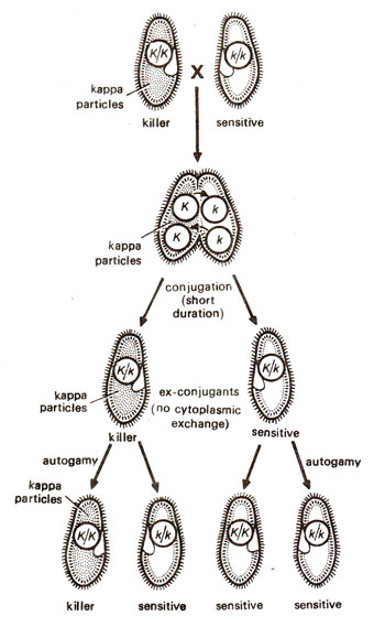 kappa particles in paramecium