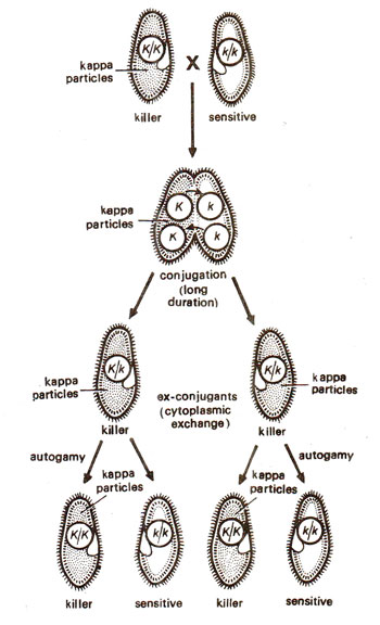 Kappa particles in paramecium maternal effects and cytoplasmic results of a cross between a killer kkand a sensitive kkstrain of paramecium when cytoplasmic exchange is allowed ccuart Images