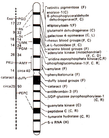 Chromosome mapping in s (including RFLPs, etc.) | Genetics on