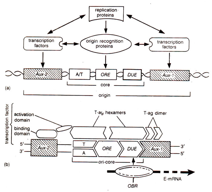 Replication Origins And Initiation Of Dna Replication Cis And Trans Acting Elements