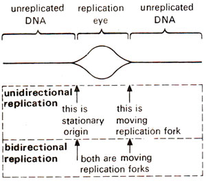 Unidirectional And Bidirectional Dna Replication