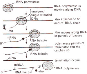 rho independent and dependent factors Facilitates transcription termination by a mechanism that involves rho binding to  the nascent rna, activation of rho's rna-dependent atpase activity, and.
