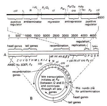 lambda phage gene regulation pdf