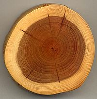 A section of a Yew branch showing 27 annual growth rings, pale sapwood and dark heartwood, and pith (centre dark spot). The dark radial lines are small knots.