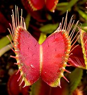 The Venus flytrap, a species of carnivorous plant.