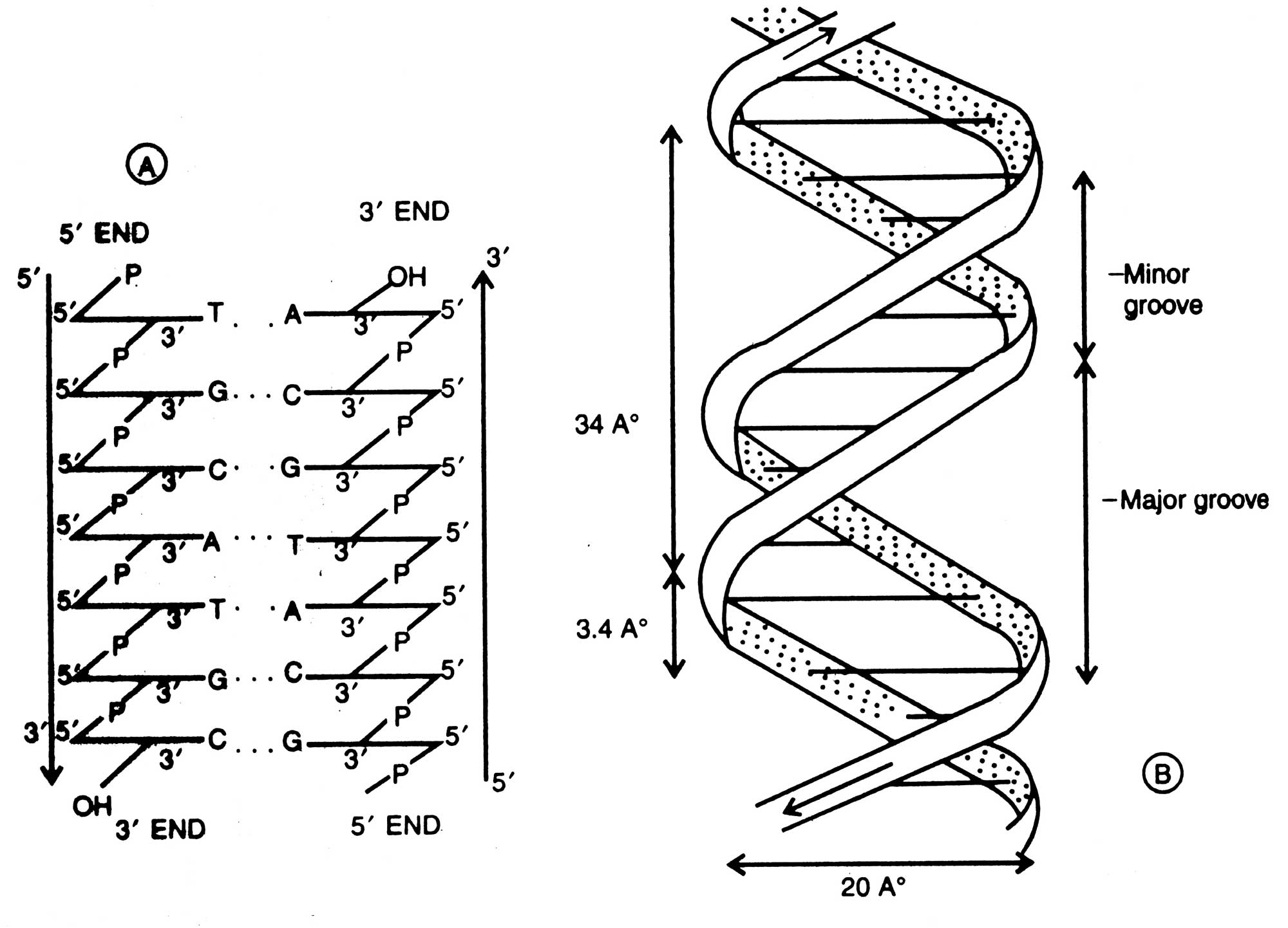 Dna Double Helix Black And White