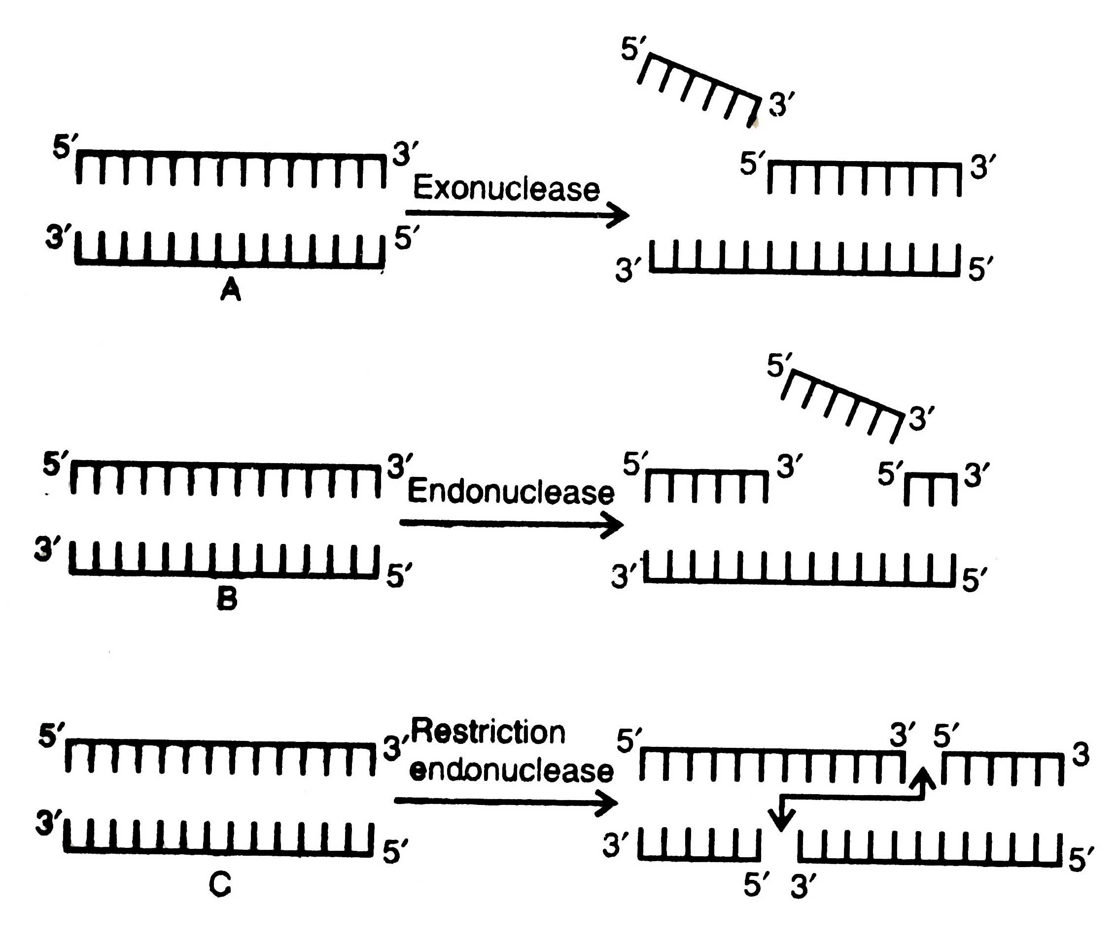 Enzymes Genetic Engineering Tools