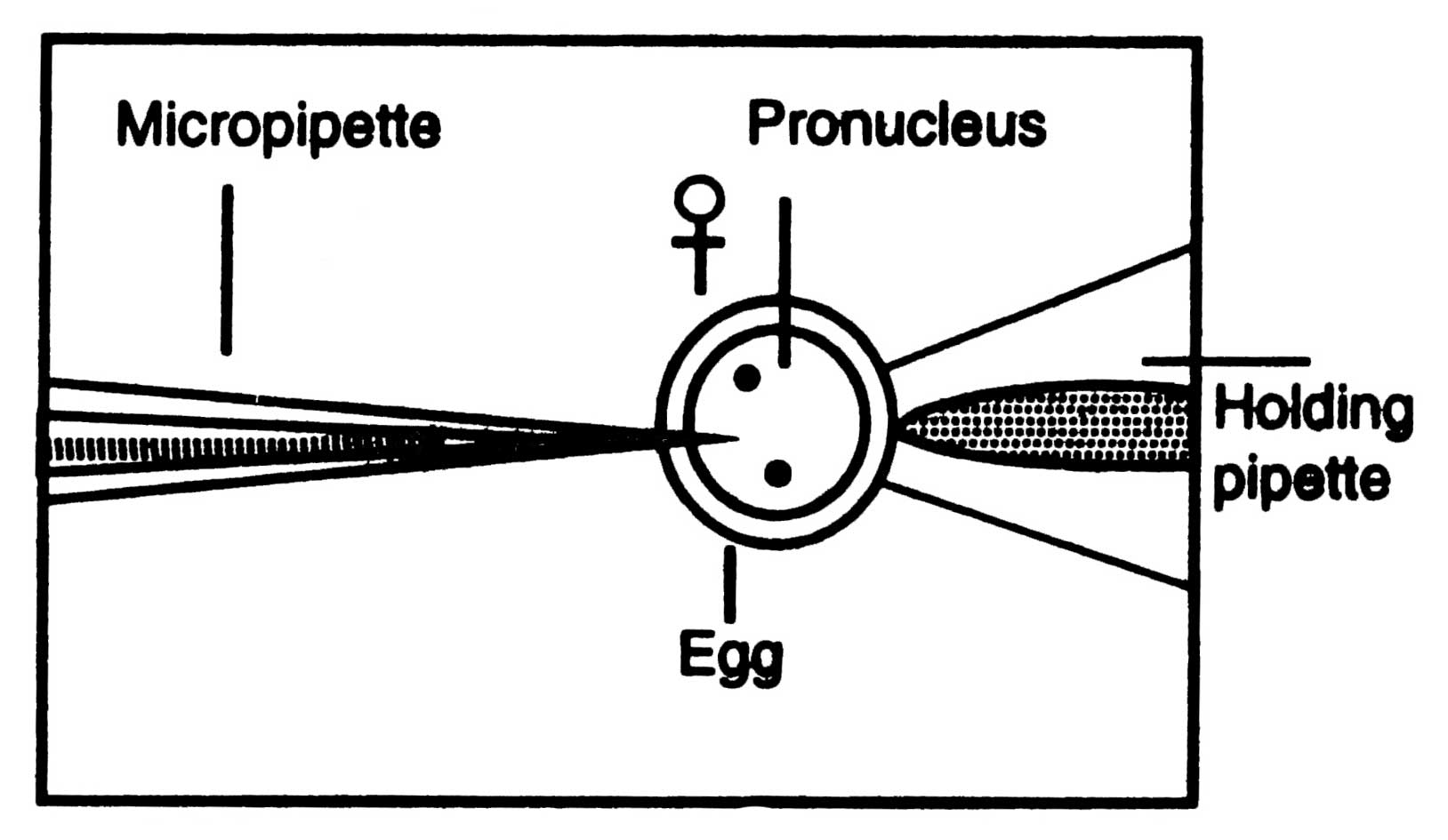 Microinjection Genetic Engineering Technique Diagram A Method Of Dna Preparation In Egg