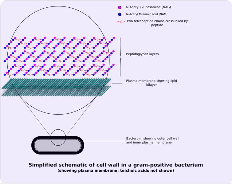 Schematic of typical gram-positive cell wall showing arrangement of n