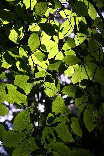 Chlorophyll - Biocyclopedia.com