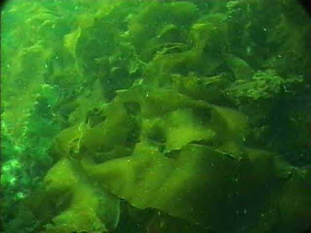 Green Algae - Biocyclopedia.com