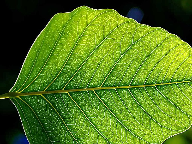 What type of venation do monocot leaves have?