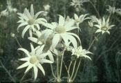 Actinotus helianthi Flannel flower