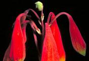 Blandfordia grandiflora Christmas bells