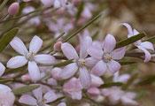 Eriostemon australasius Pink wax flower