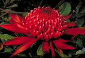 Telopea speciosissima New South Wales waratah