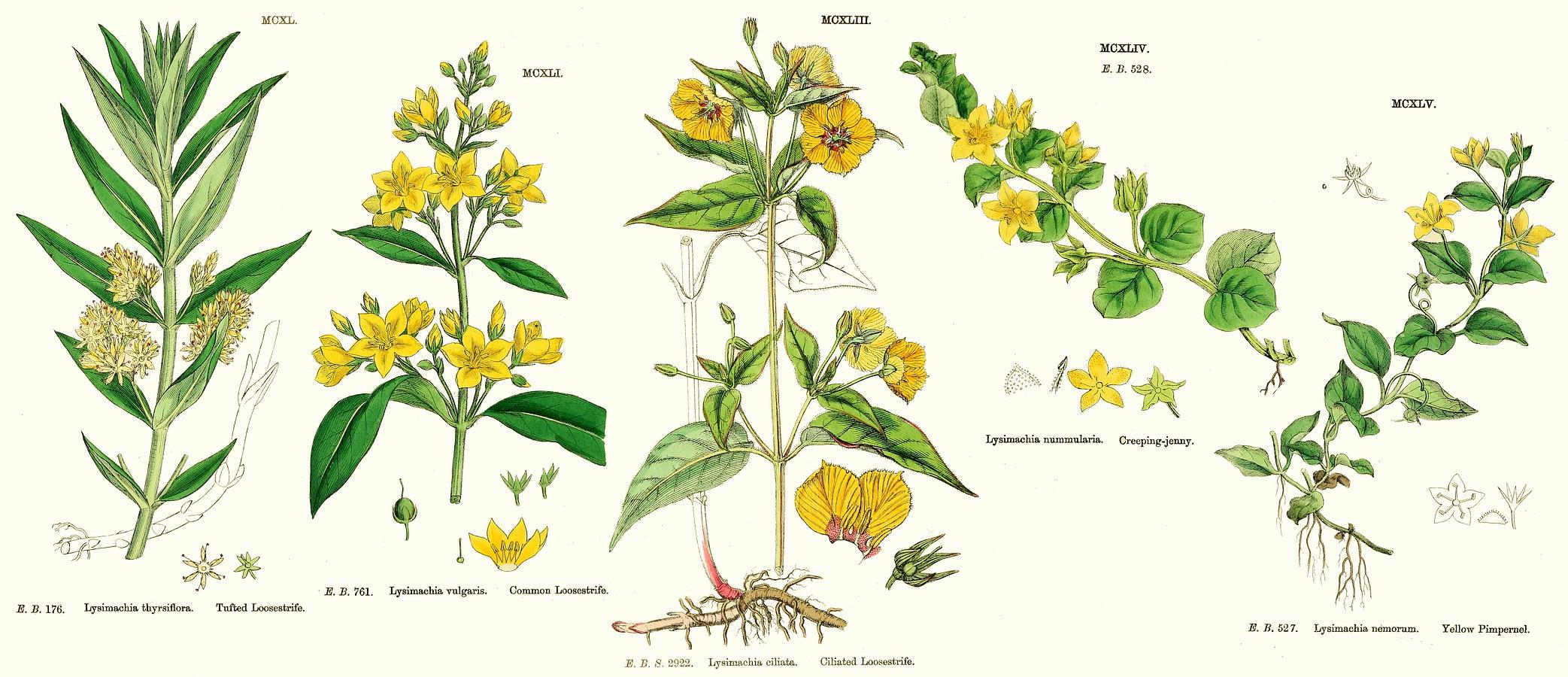 Family Primulaceae