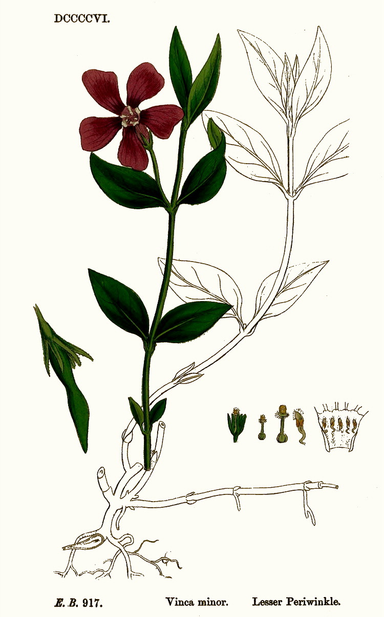 Vinca Floral Diagram Wiring Libraries Maxon 280252 Harness Diagrams Scematicvinca Simple Of A Flower And