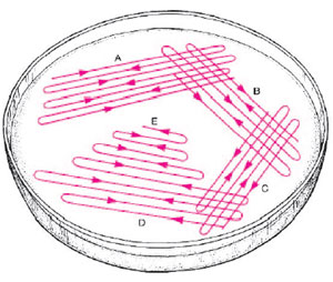 Diagram of plate streaking technique. The goal is to thin the numbers of bacteria growing in each successive area of the plate as it is rotated and streaked so that isolated colonies will appear in sections D and E.