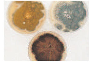 Colonies of three Aspergillus species. Some molds may be recognized by the color of their spores (conidia). Clockwise from left: A. flavus (yellow), A. fumigatus (smoky gray-green), A. niger (black).