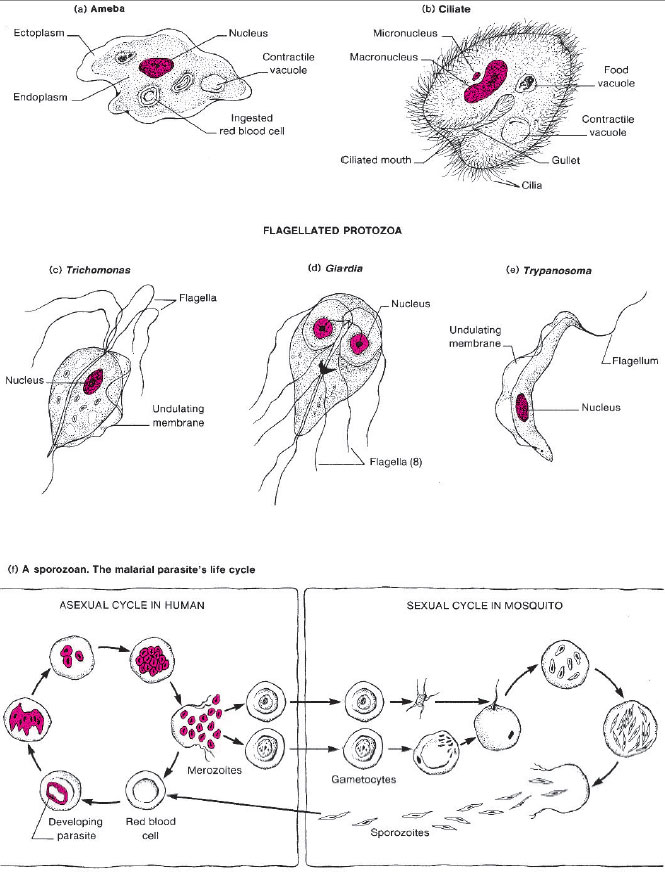 Diagrams of four types of protozoa. (a) An active ameba. (b) A ciliated protozoan (Balantidium coli), (c), (d), and (e) Three types of flagellated protozoa. (f) Developmental stages of the malarial parasite, a sporozoan (Plasmodium species).