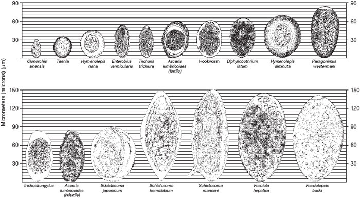 Relative sizes and comparative morphologies of representative helminth eggs.