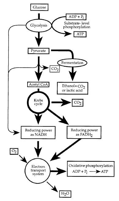 matrix mitochondria diagram