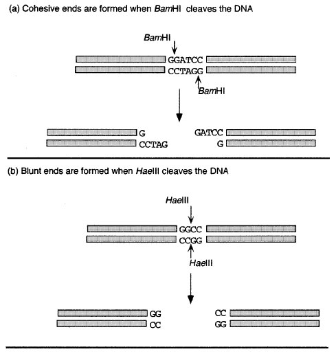 Figure 8 2 Restriction Enzymes May Form A Cohesive Or B Blunt Ends