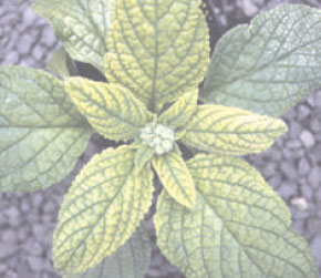 Interveinal chlorosis of iron-deficient borage (Borago officinalis L.).