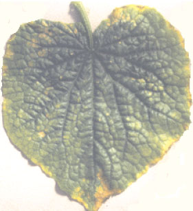 Deficiency symptoms showing necrosis of leaf margins, as in this case of potassium deficiency