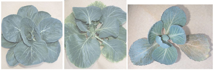 Cabbage (Brassica oleracea var. capitata L.) plants showing symptoms of stunting