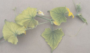 Iron-deficient cucumber (Cucumis sativus L.) plant.