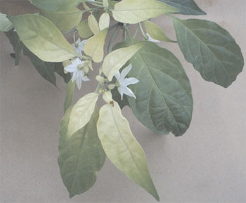 Iron-deficient pepper (Capsicum annuum L.) plant. The young leaves are yellow, and the older leaves are more green
