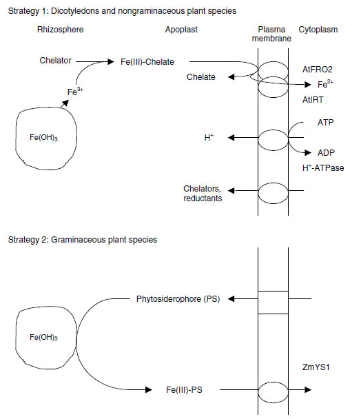 Strategies for acquisition of Fe in response to Fe deficiency in Strategy 1 and Strategy 2 plants
