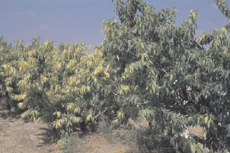 Two peach (Prunus persica Batsch) trees in an orchard on a calcareous soil with drip irrigation. Left: over-irrigation by a defect dripper resulting in bicarbonate-induced chlorosis. Right: adequate irrigation, no chlorosis